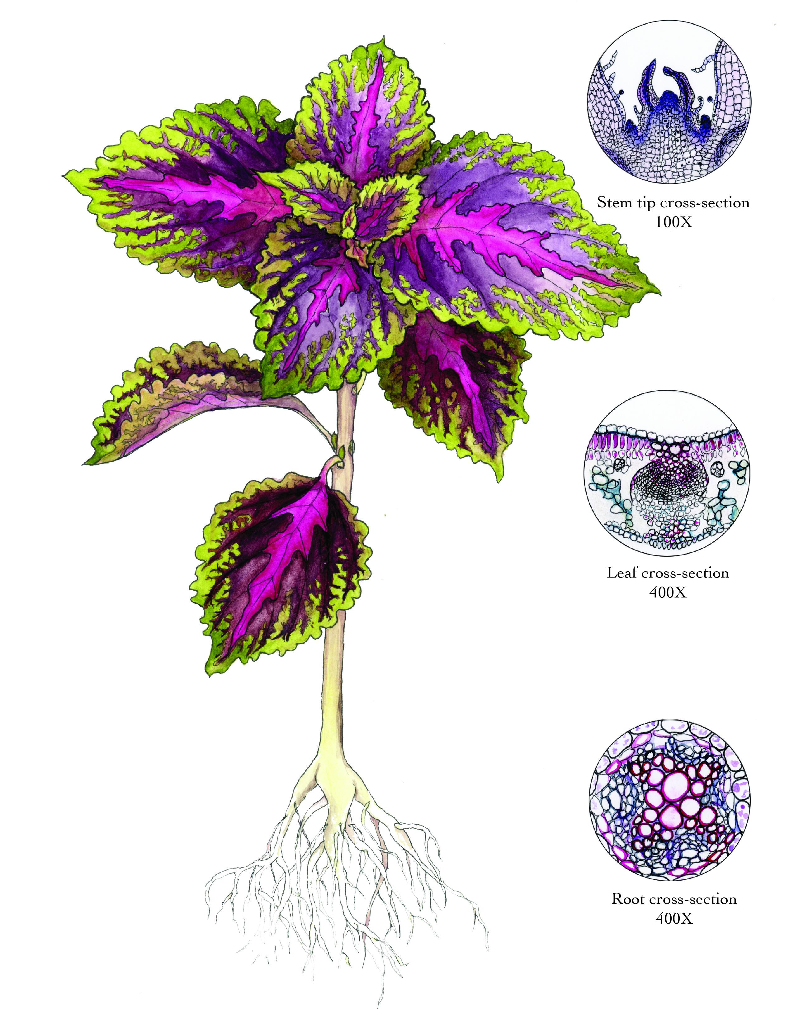 Coleus Blumei