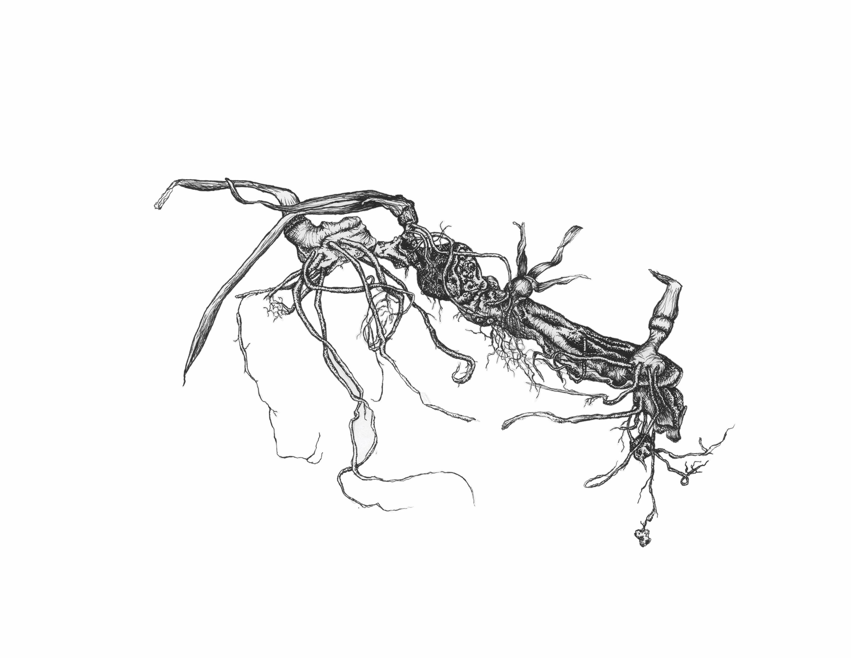 Iris Roots