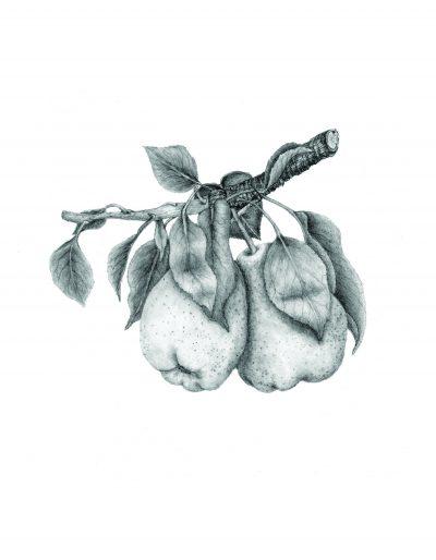 Kieffer Pears
