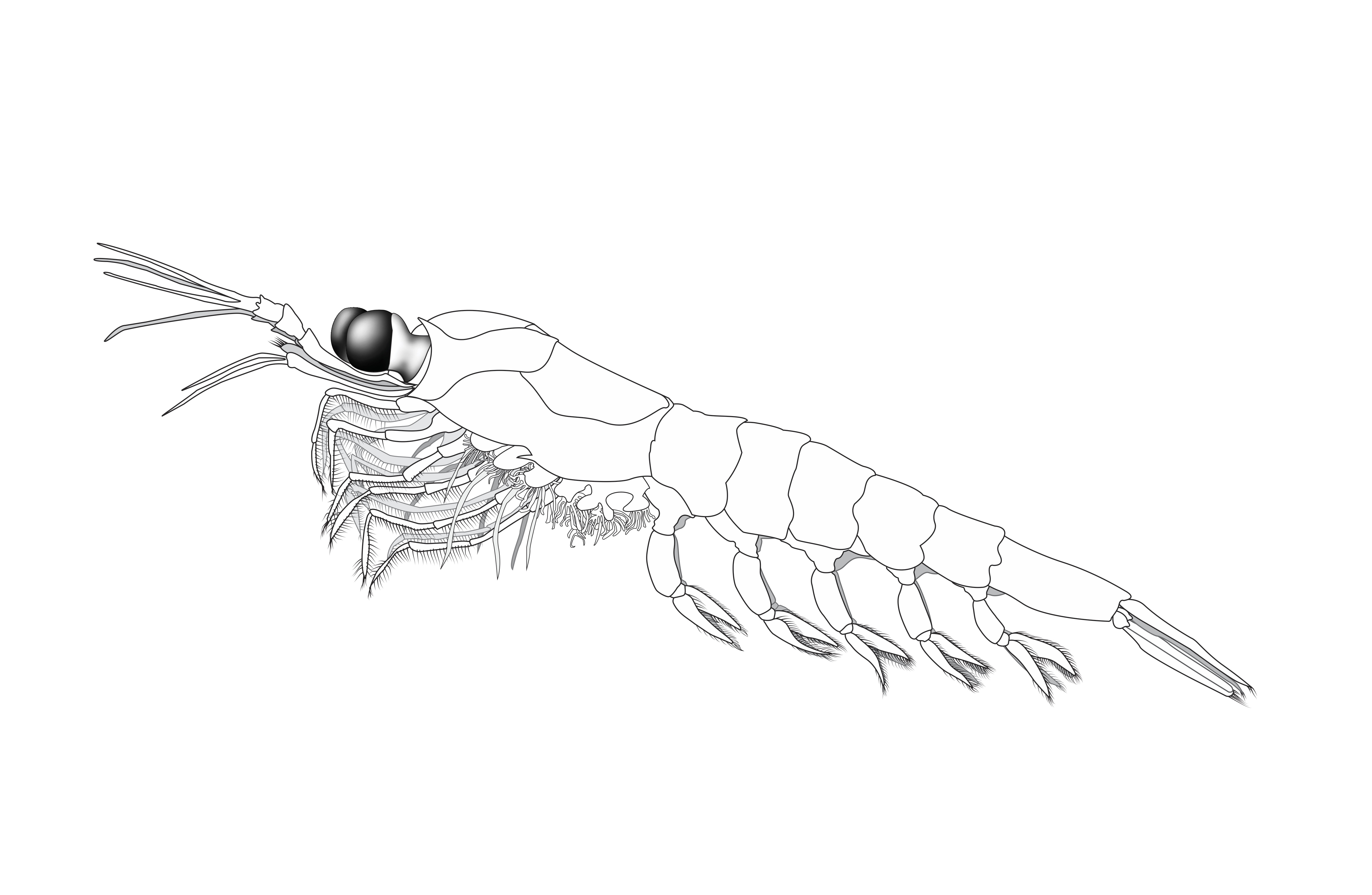 Krill of The Monterey Bay