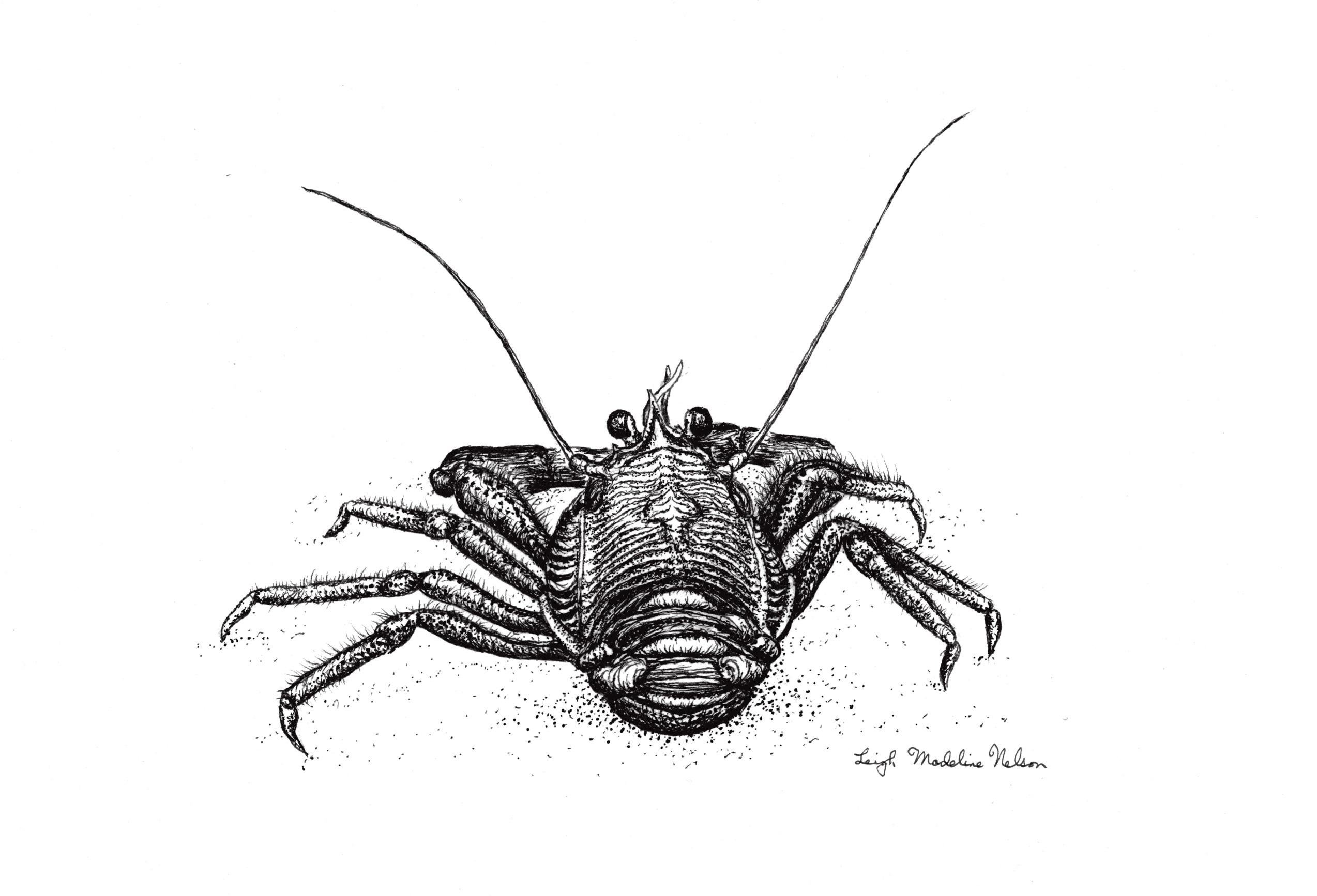 Pelagic Red Crab