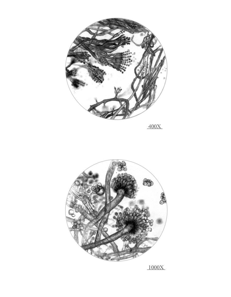 conidiophores hapoid conidia