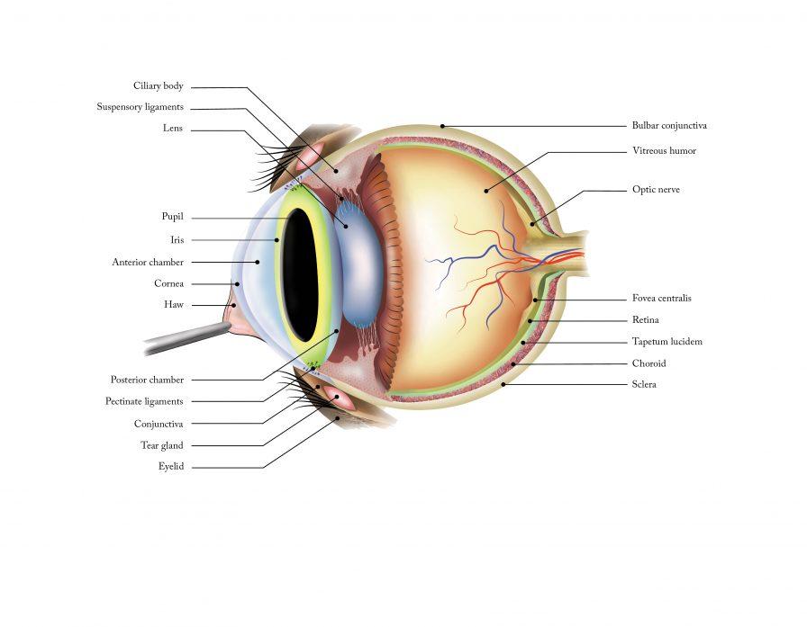 feline eye anatomy