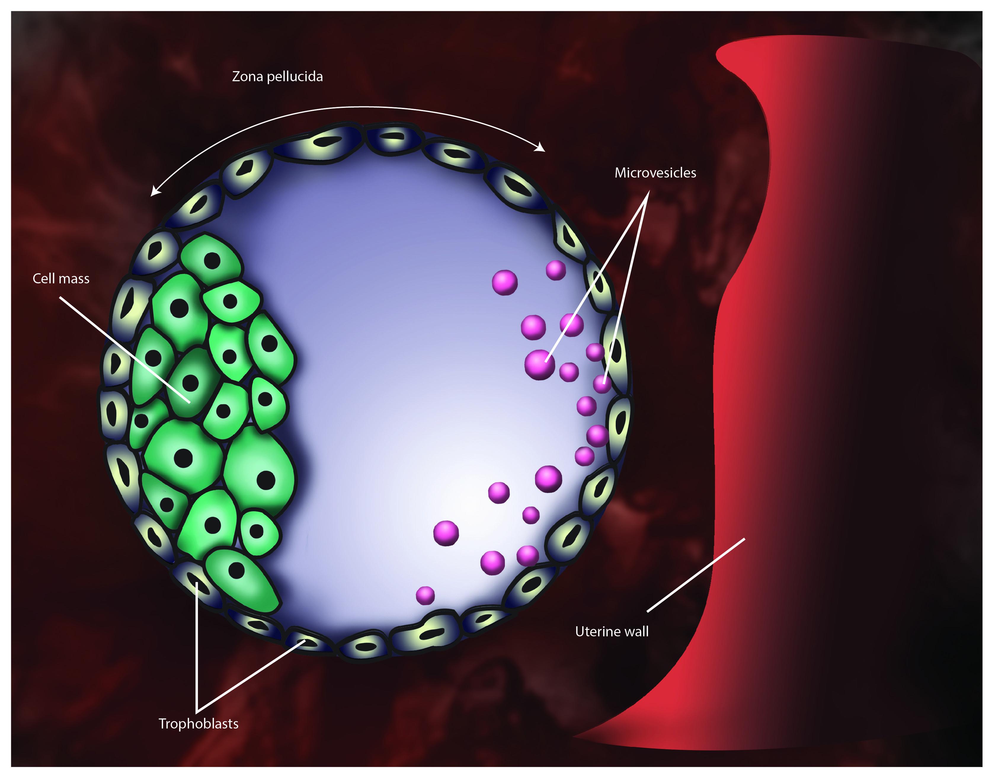 Blastocyst In Utero