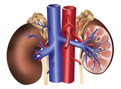 Human Kidney Anatomy